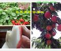 广东潮州果树哪里卖果树苗此处多少钱一株