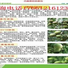 云南昆明2年桃樹苗給你想要的2年桃樹苗價格圖片