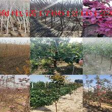 2年新品种梨树苗多少钱新品种梨树苗主产区价格图片