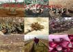 云南保山哪里有10月熟桃树苗怎么卖的
