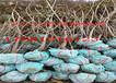 寧夏中衛賣果樹苗哪里有果樹苗價格受歡迎