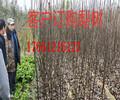 河北衡水2年薄皮核桃树苗多少钱、3年薄皮核桃树苗近期报价