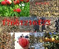 浙江绍兴富士苹果树苗卖给你想要的富士苹果树苗价格