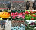 河北石家庄卖梨树苗哪里有梨树苗价格受欢迎