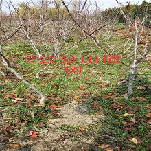 河北邢臺賣的新梨七號梨樹多少錢新梨七號梨樹在什么地方圖片