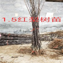 赤峰新?#20998;?#26691;树育苗基地_新?#20998;?#26032;?#20998;?#26691;树卖多少钱一株图片