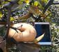 江西景德鎮紅富士蘋果樹育苗基地才賣多少錢一棵