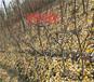 阿克蘇新品種果樹育苗基地_新品種果樹能賣多少錢一棵