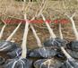 阿克蘇晚熟冬雪桃樹育苗基地_晚熟冬雪桃樹能賣多少錢一棵