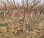 阿克蘇無花果樹育苗基地_無花果樹能賣多少錢一棵