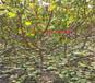 北海薄皮核桃树育苗基地_薄皮核桃树能卖多少钱一棵