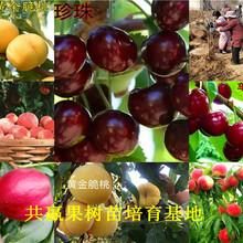 枣树苗哪里有卖、3公分枣树苗哪里便宜图片