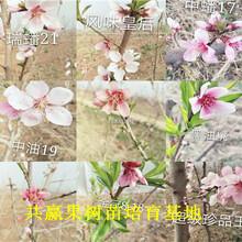 丰香草莓苗送货报价、丰香草莓苗哪里有图片