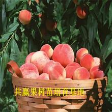 秋彤桃树苗哪里便宜、2公分秋彤桃树苗种植效益图片