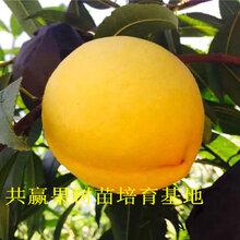 永川桃(tao)樹苗基地近期-早熟桃(tao)樹苗主產區在哪里圖片