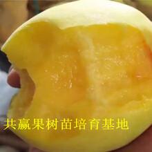哪里有晚熟桃树苗出售、2年晚熟桃树苗多少钱一棵图片