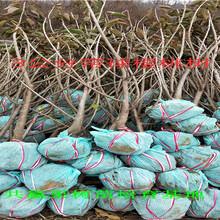 矮化樱桃树种植技术、3年矮化樱桃树苗哪里便宜图片