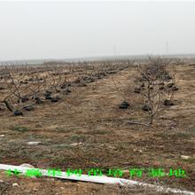 哪里有黑珍珠樱桃树苗出售、5年黑珍珠樱桃树主产区价格图片