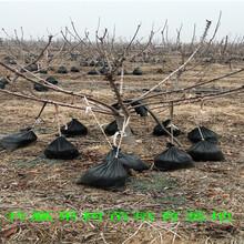 哪里有美早樱桃树苗出售、1公分美早樱桃树新品种价格图片