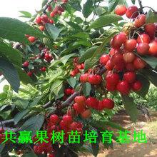 黑珍珠樱桃树育苗基地、哪里卖的1年黑珍珠樱桃树亩产多少斤图片