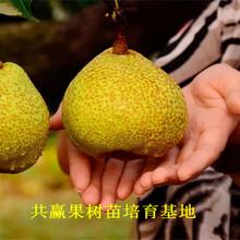 1公分晚熟梨树几月份结果、1公分晚熟梨树哪里便宜图片