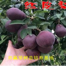 2年梨树新品种新品种价格、2年梨树新品种哪里便宜图片