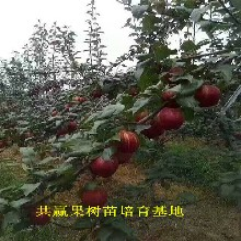 哪里油3年早熟梨树出售、3年早熟梨树种植介绍图片