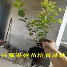 味帝李子树苗哪里便宜、5年味帝李子树苗品种介绍图片