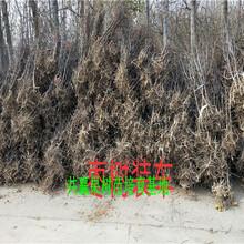 8518核桃树订购优惠、5年8518核桃树哪里便宜图片