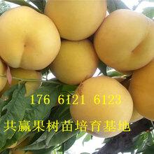 四川绵阳卖的桃树多少钱、金秋红蜜桃树苗批发价格图片