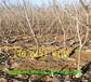 浙江杭州賣的車厘子櫻桃樹多少錢、美國大櫻桃樹批發價格