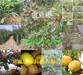 广西梧州矮化樱桃树基地、矮化樱桃树亩产多少斤