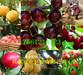 湖北随州甜宝草莓苗基地、甜宝草莓苗附近哪里有卖的