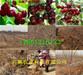 黑龙江大兴安岭地薄皮核桃树基地、薄皮核桃树种植基地报价