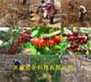 江苏无锡满天红梨树基地、满天红梨树附近哪里有卖的