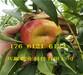 6月成熟桃苗哪里有.重庆黔江卖6月成熟桃苗种植技术