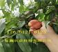 3年桃樹苗哪里有賣、早熟桃樹苗送貨報價