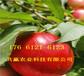 掛果桃樹苗哪里有賣、雪桃樹苗育苗基地在哪里