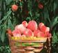 內蒙古呼和浩特本地賣的1-21蟠桃樹苗多少錢一株