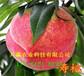 湖南永本地賣的9月成熟桃苗多少錢一株