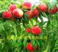 內蒙古呼倫貝爾冬雪桃樹樹苗什么價格、桃樹苗批發