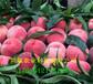 內蒙古呼和浩特金秋紅蜜桃樹苗附近哪里有賣的、桃樹苗批發