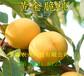 3-5公分冬雪桃樹樹苗價格、冬雪桃樹樹苗主產區價格