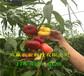 内蒙古兴安盟蟠桃树苗附近哪里有卖的、桃树苗批发