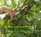 內蒙古烏海本地賣的黃金密桃樹苗多少錢一株