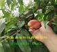 內蒙古通遼本地賣的嫁接桃樹苗多少錢一株