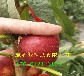 內蒙古鄂爾多斯本地賣的早熟桃樹苗多少錢一株
