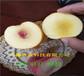 內蒙古鄂爾多斯本地賣的6月成熟桃苗多少錢一株