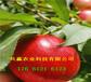 浙江衢冬雪桃樹樹苗有發展前景嗎、桃樹苗批發