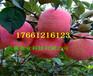 3公分早熟苹果树、早熟苹果树种植介绍
